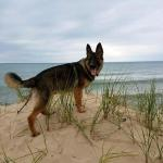 Diane Wilson‎TTS German Shepherds May 21 ·  ​ Daddy and Ruger having fun on the Silver Lake Sand Dunes. Ruger is growing fast. Over 50 lbs now. He now loves to ride in the truck and our Razor. Say hi to our dune dog!